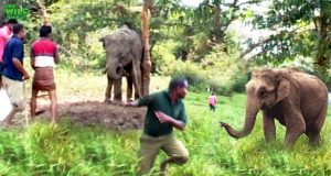 Young elephant saved under threats of a giant elephant. These People are awesome