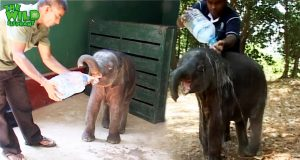 Cutest baby elephant saved and treated before taken back to the forest