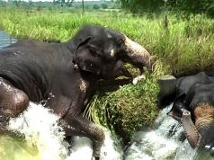A brave elephant saves himself from a furious canal