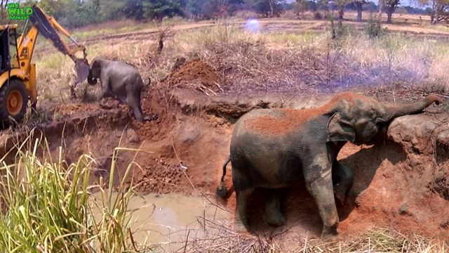 Funny elephant calf messes around with the caterpillar that saved her.