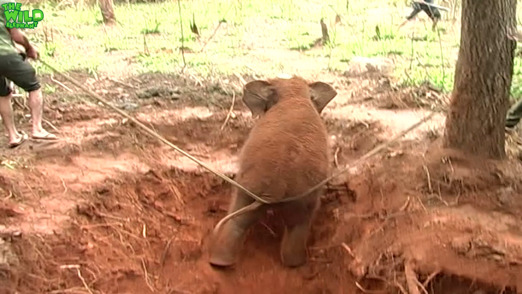 Baby Elephant Rescue Compilation.Funny baby elephants chasing humans.