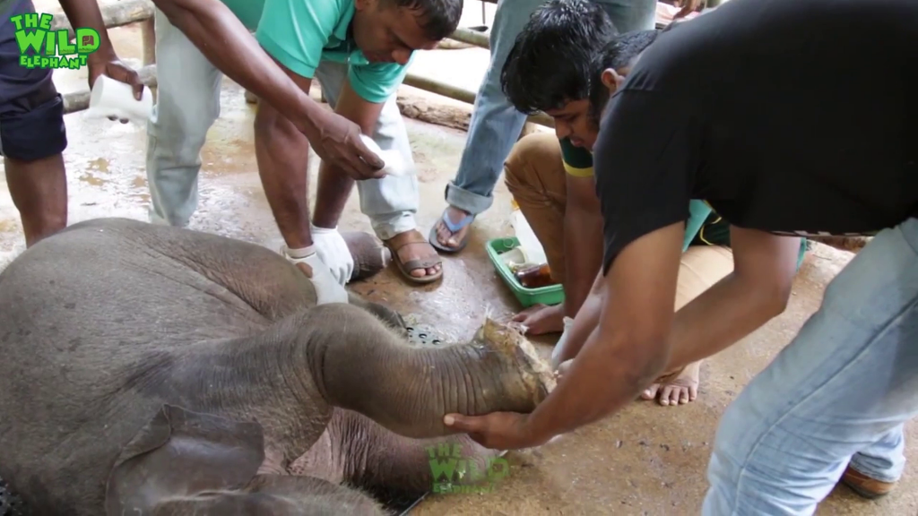 Elephant human affairs : Cute baby elephant in critical state gets treated.