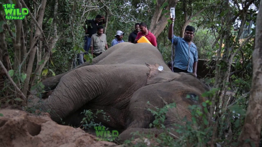 Elephant with a bad stomach in critical condition gets treated. (Polythene, plastic pollution).