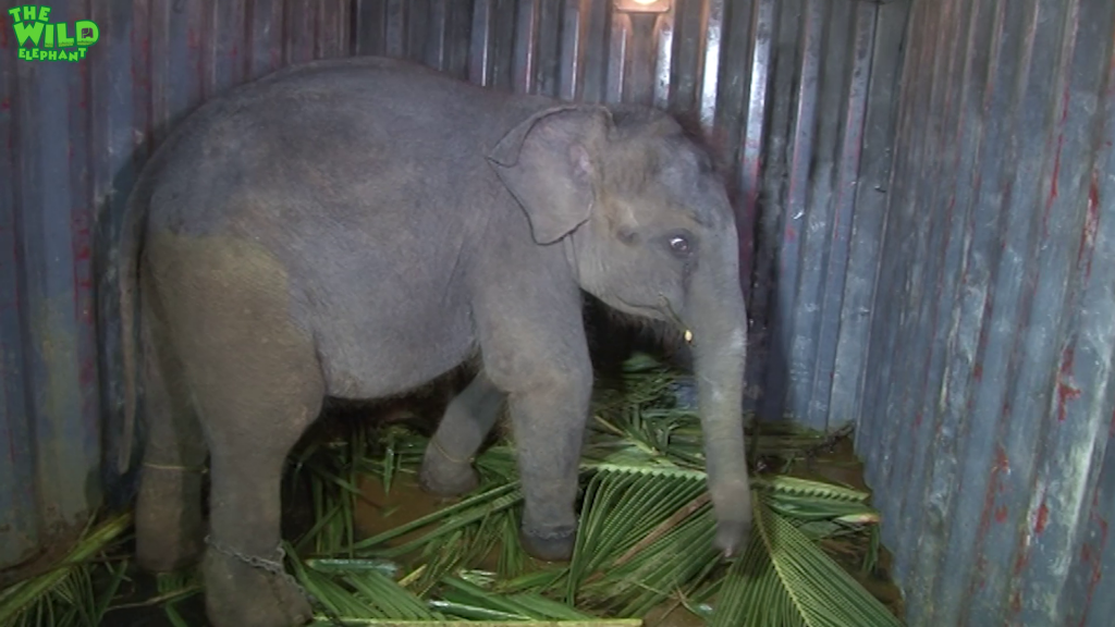 A lost elephant calf is waiting to join a new elephant family