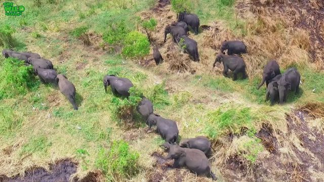 Bird's-eye view on a beautiful Elephant herd