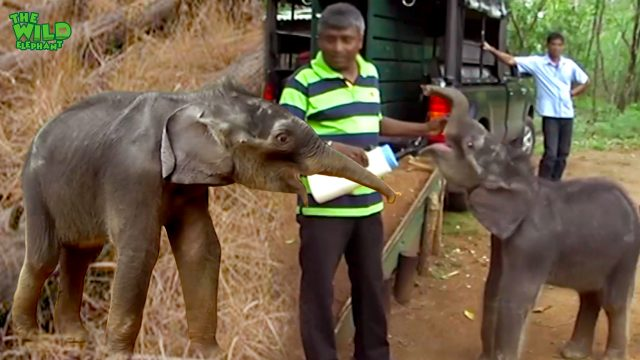 Cutest baby elephant fed with milk before safe-relocation