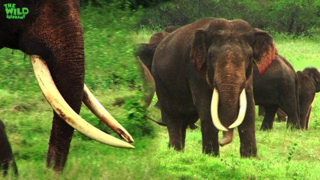 The giant tusker that survived many poachers