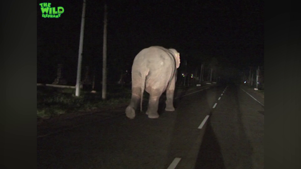 A monster size Elephant on the streets. Bigger than a truck!