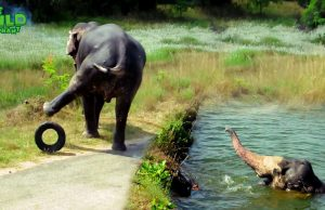 A Giant Elephant Saved By Kind People from the Canal