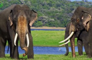 A beautiful Asian Tusker with a Herd