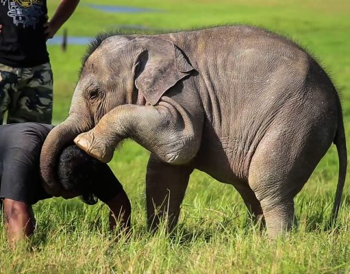 Adorable Baby Elephant playing around with Wildlife officers