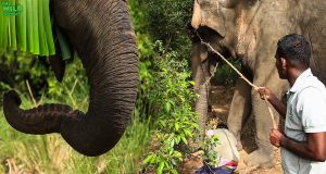 Brave humans saving a giant elephant from a wire trap