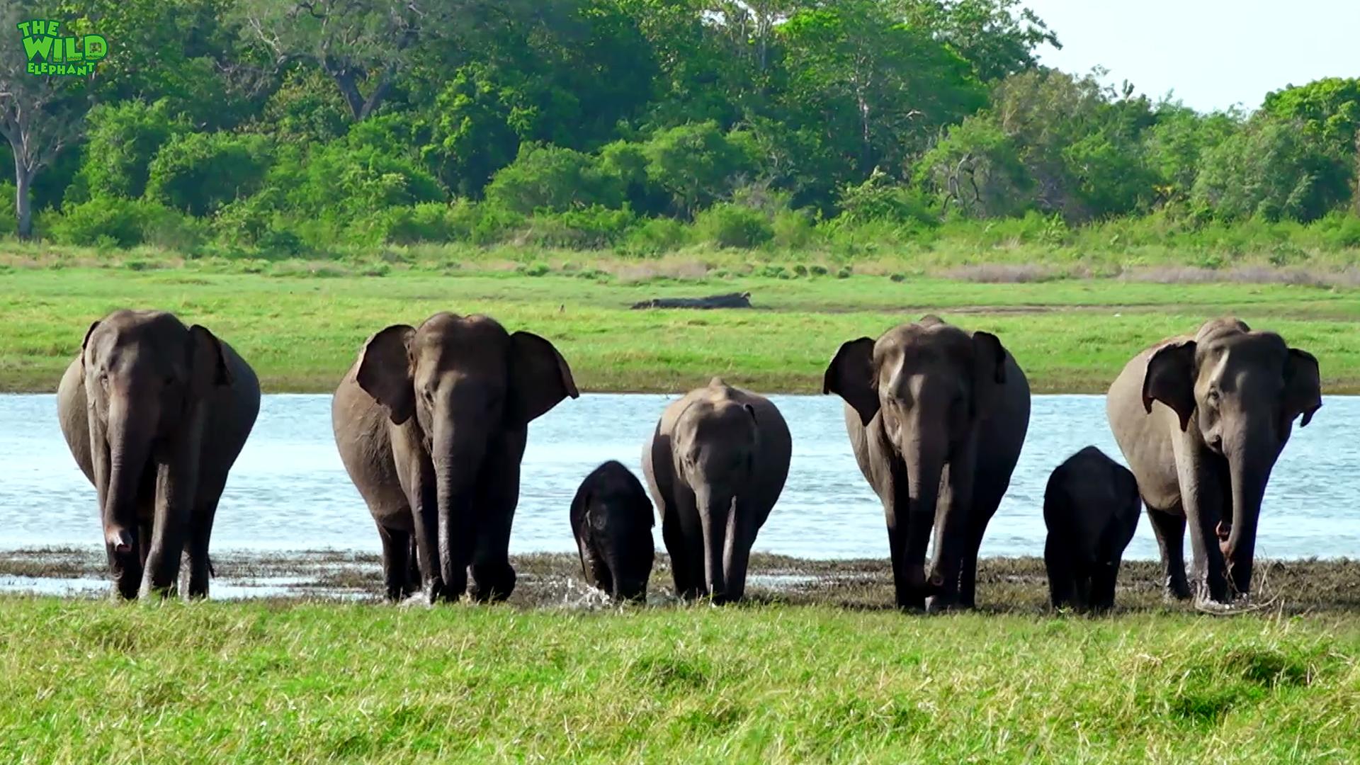 Beautiful Elephants of Minneria National Park