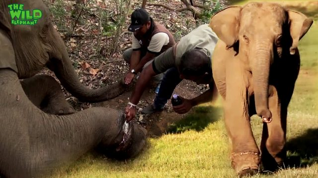 Real Life Heroes: Saving a Baby Elephant From a Trap