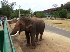 Magnificent Giant Tusker is too friendly to all. (One of the biggest Tuskers in Asia)