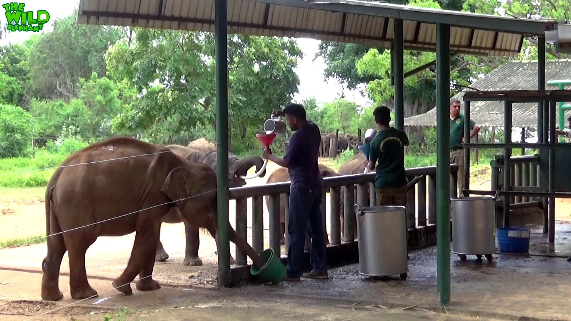 Feeding Milk to Cute Baby Elephants