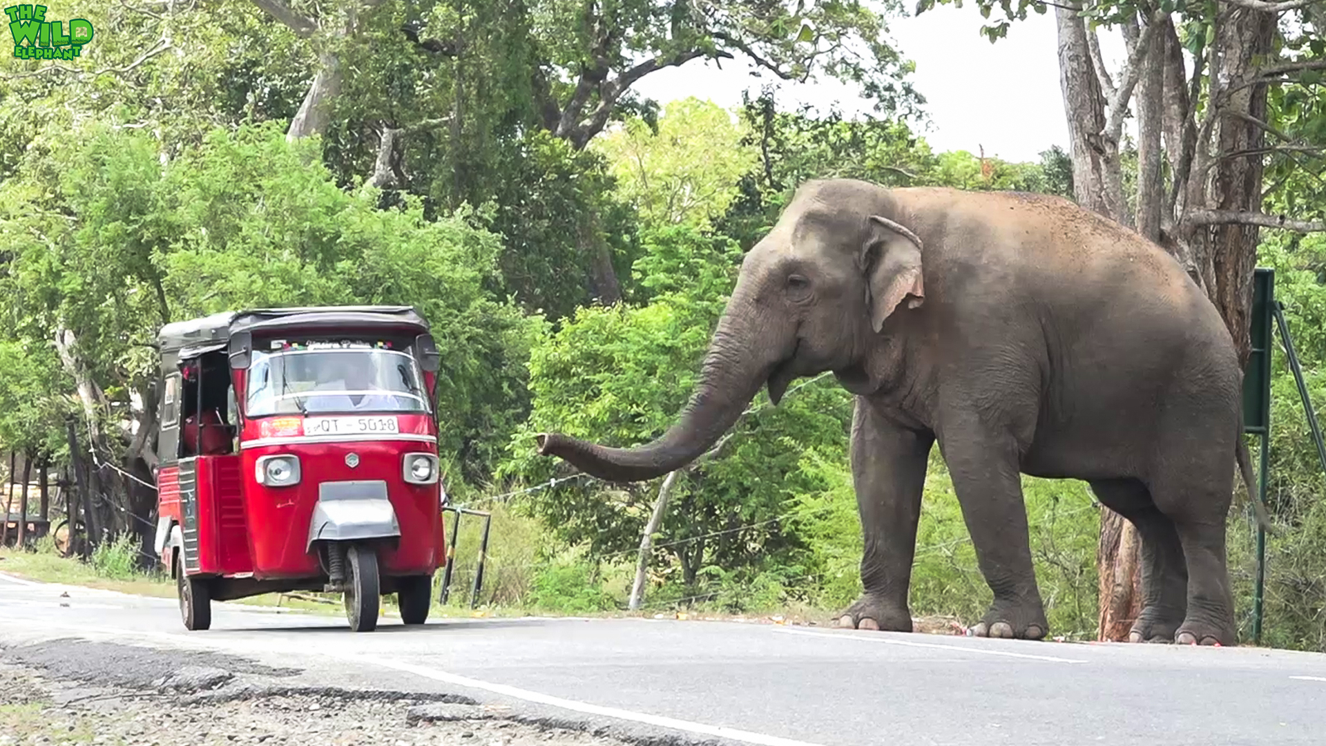 Behemoth of an elephant waits by the village demanding food - Wild