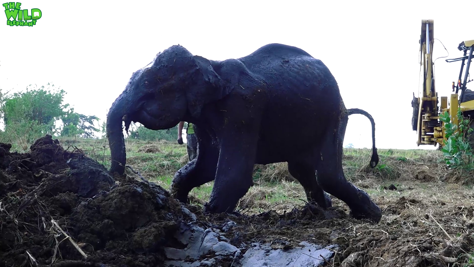 Sick Elephant Stuck In The Mud Saved By Real Life Heroes Wild Elaphant Video Free and premium elephant png, transparent background images. sick elephant stuck in the mud saved by
